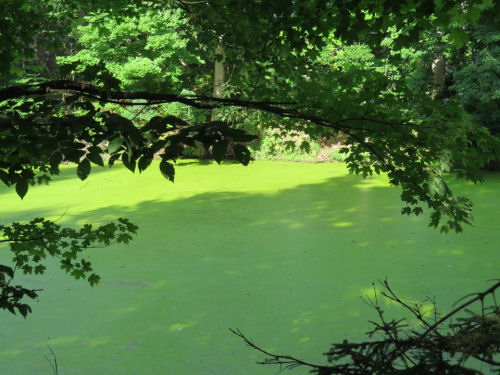 pond with duckweed