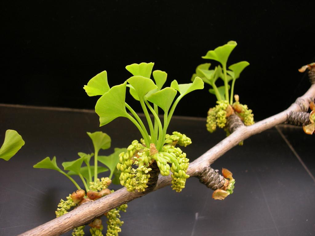 rama de ginkgo biloba con flores y primeras hojas en primavera