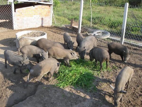 Nuôi đàn lợn mán bán tết lãi hàng trăm triệu đồng/tháng