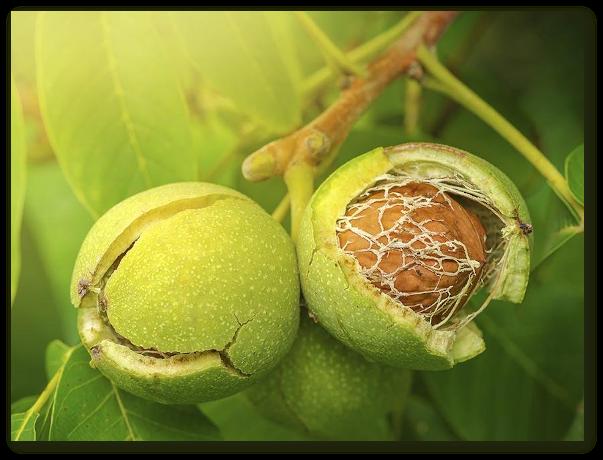Nucile verzi sunt bune contra anemiei, bolilor de stomac, gutei