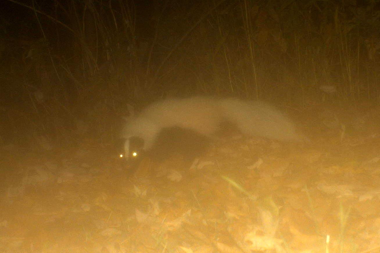 Delightful Striped Skunk (Seneca Falls, NY 11/12)