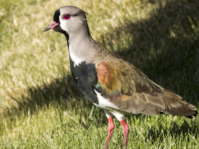 Birds of Patagonia: Southern lapwing