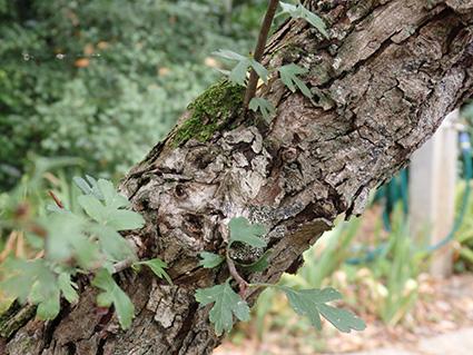 Corteza cuarteada de un espino viejo