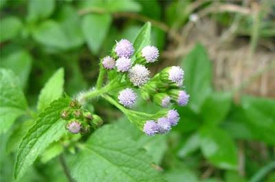 Bài thuốc từ hoa ngũ sắc điều trị viêm xoang