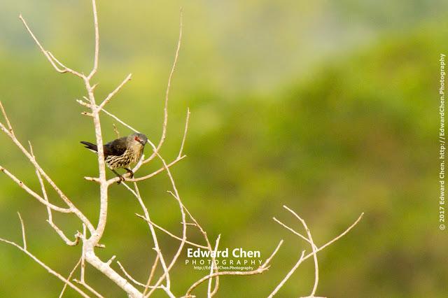 juvenile Asian Glossy Starlings