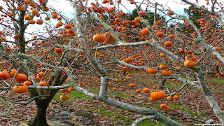 persimmon fruit images wallpaper