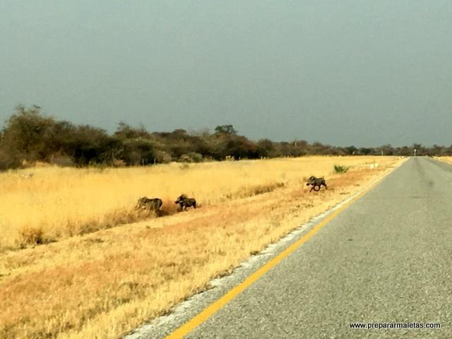 animales por las carreteras de Namibia