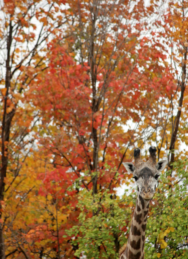 Toronto Zoo in the fall - giraffe