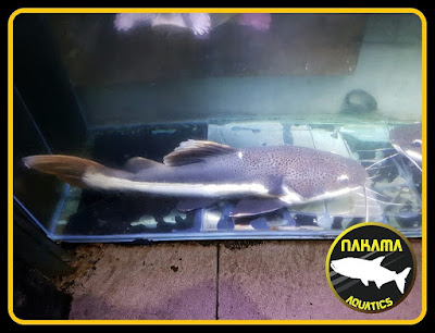 Catfish (Order Siluriformes)