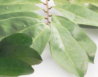 khasiat daun sirsak untuk kesehatan picture