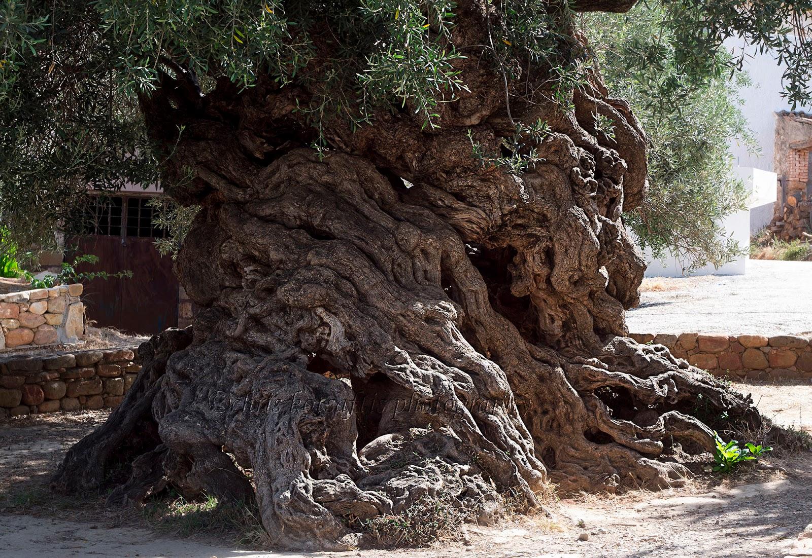 Graekenland Last Minute Rejser Vouves Oliven Pa Kreta