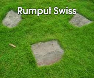 rumput swiss
