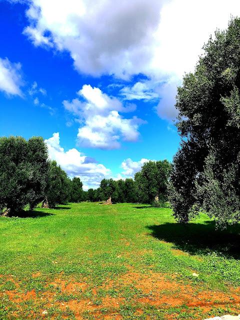puglia-olive-trees