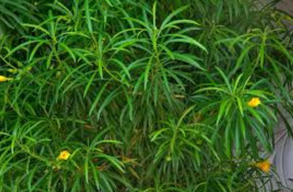 कनेर का पौधा
