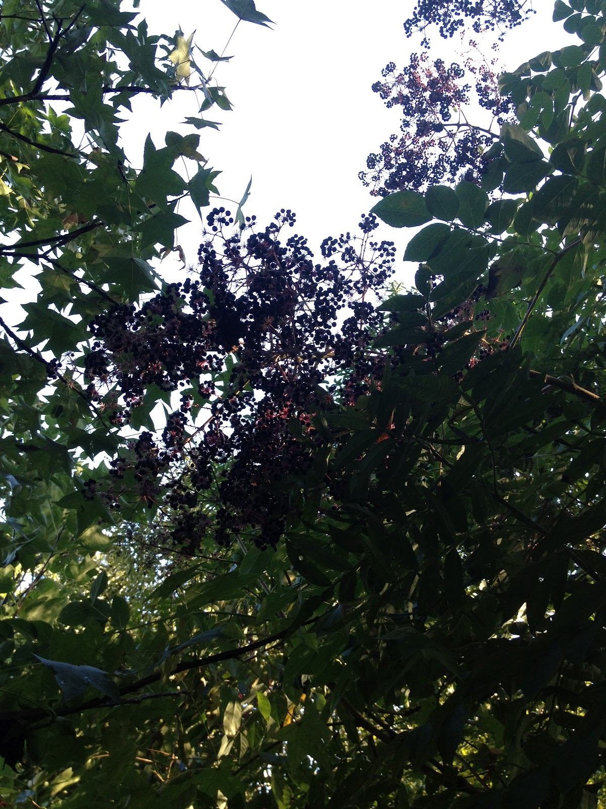 Contrary To The Matter Elderberry In My Back Yard