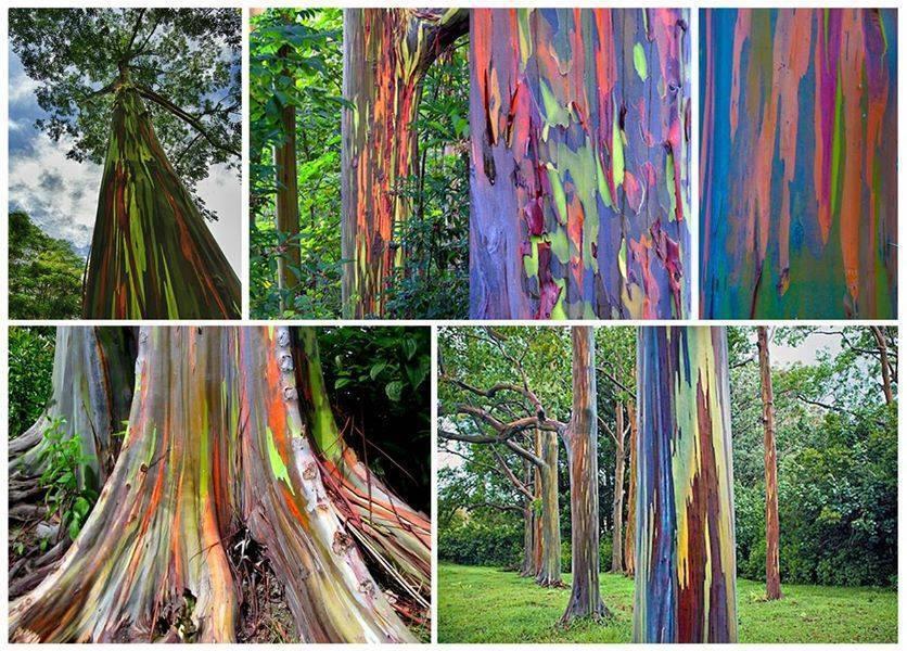 Resultado de imagem para rainbow tree