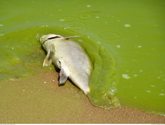 [Image: dead-fish-algal-bloom-1024x774.jpg]