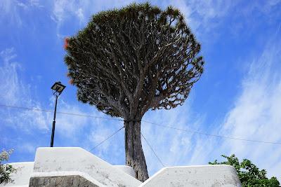 Hespérides | El drago, sangre de dragones en Canarias V: Ejemplares históricos