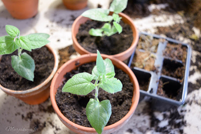 mustasilmäsusanna taimi