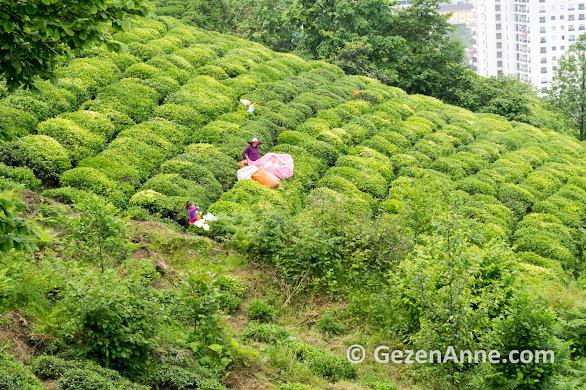 çay bahçesinde çay toplayan anne kız, Rize