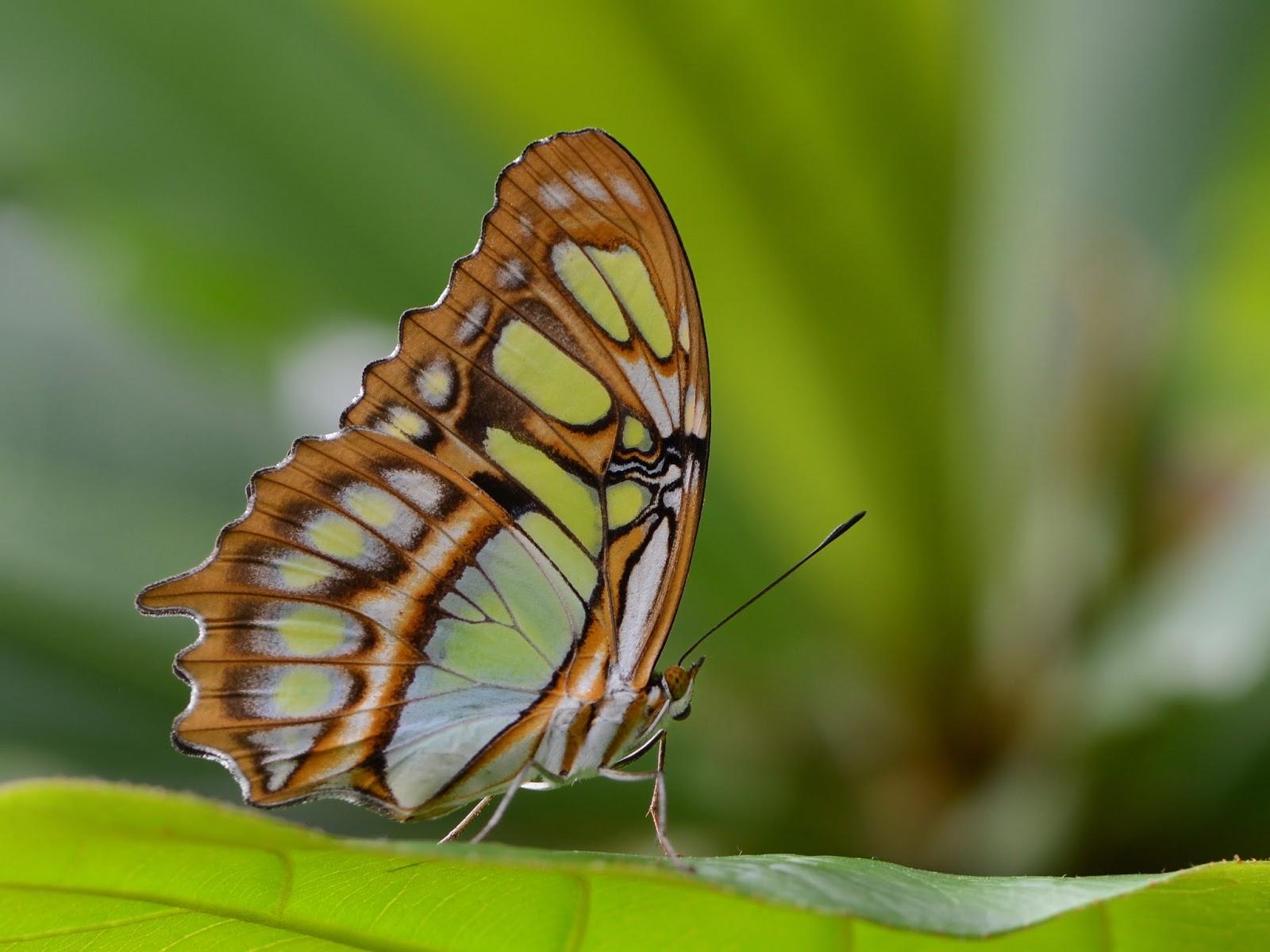 Insects: Malachitfalter, Bambuspage, Siproeta stelenes 3