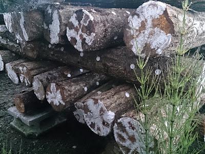 原木しいたけのホダ化(菌糸紋)