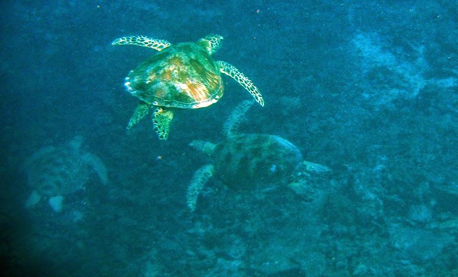 Jumlah penyu di Turtle Traffic tidak terhitung