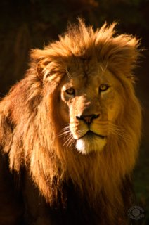 Cramer Imaging's professional quality fine art photograph of a lion's head shot in the sun at Tautphaus Park, Idaho Falls, Bonneville, Idaho