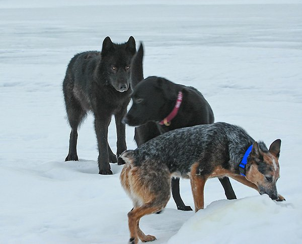 """He Watched Helplessly As A Wild Wolf Approached His Dog. Then Something Incredible Happened. - Romeo didn't just play with other dogs. He played with humans, too. """"The wolf would bring out toys that he'd stashed,"""" Nick said in an interview. """"One was a Styrofo"""