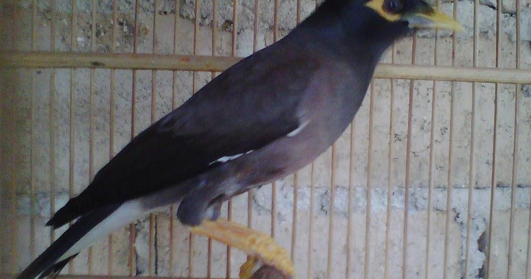 Melihat Ciri Burung Jalak Nias Jantan