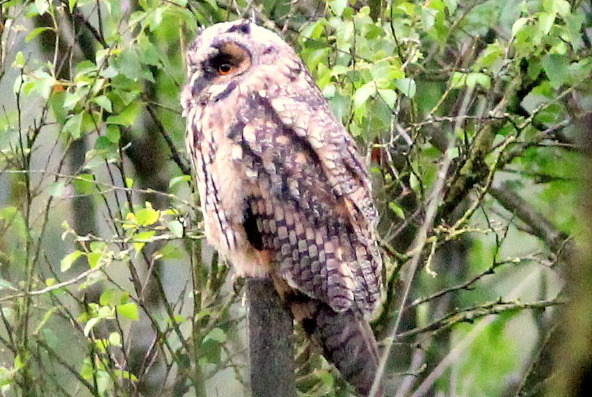 Local Long Eared Owl