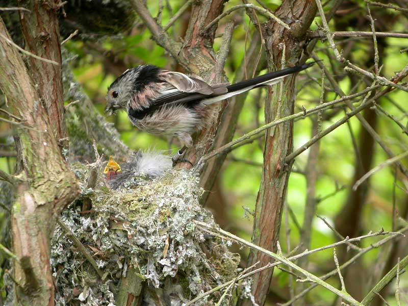 Picture of long tailed tit bird's nest.