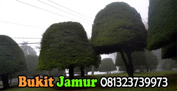 Bukit Jamur Ciwidey Rancabolang
