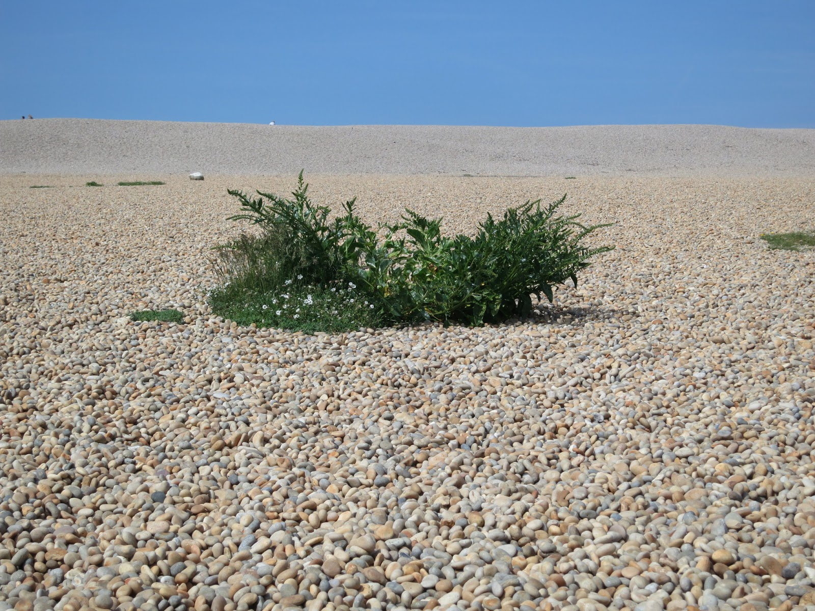 Sea Beet clump (?) on Chesil Beach