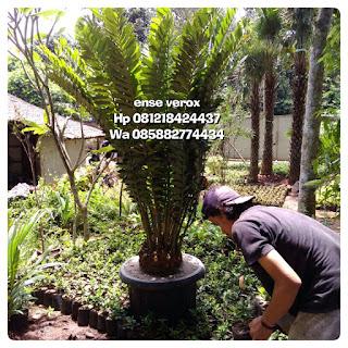 Jual tanaman langka ence verox