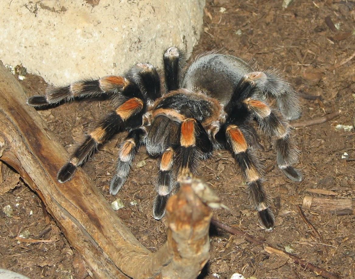 sunt venele păianjen dăunătoare