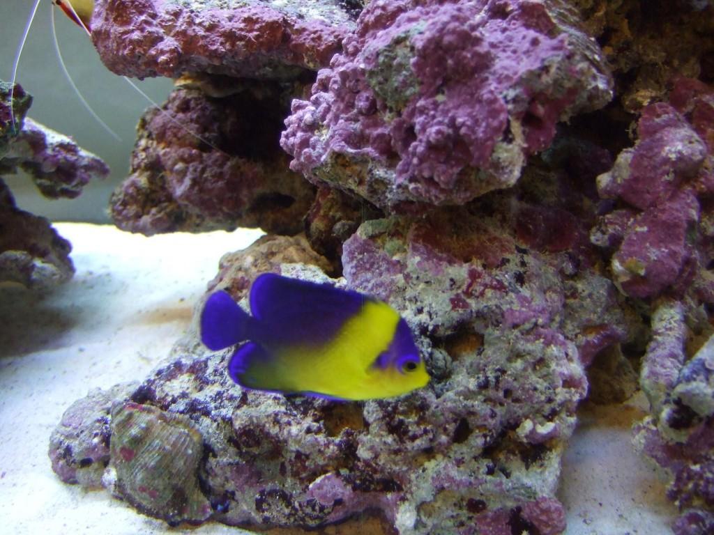 Fish Pictures: Venustus angelfish - Sumireyakko venustus