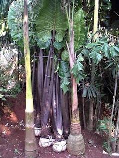 jual tanaman keladi hitam