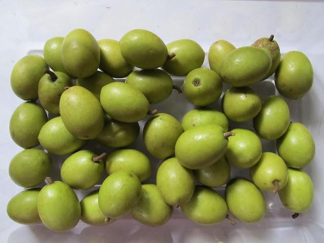 20 Ceylon Olive Elaeocarpus serratus Seeds For Growing
