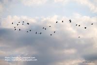群れて飛ぶダイサギの写真