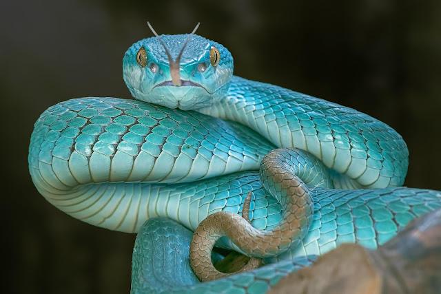 rắn Taipan nội địa có thể thay đổi màu sắc theo các mùa.