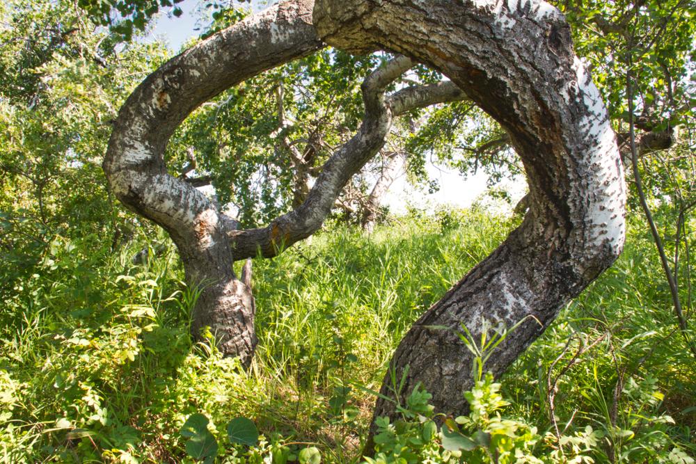 crooked aspen trees near hafford