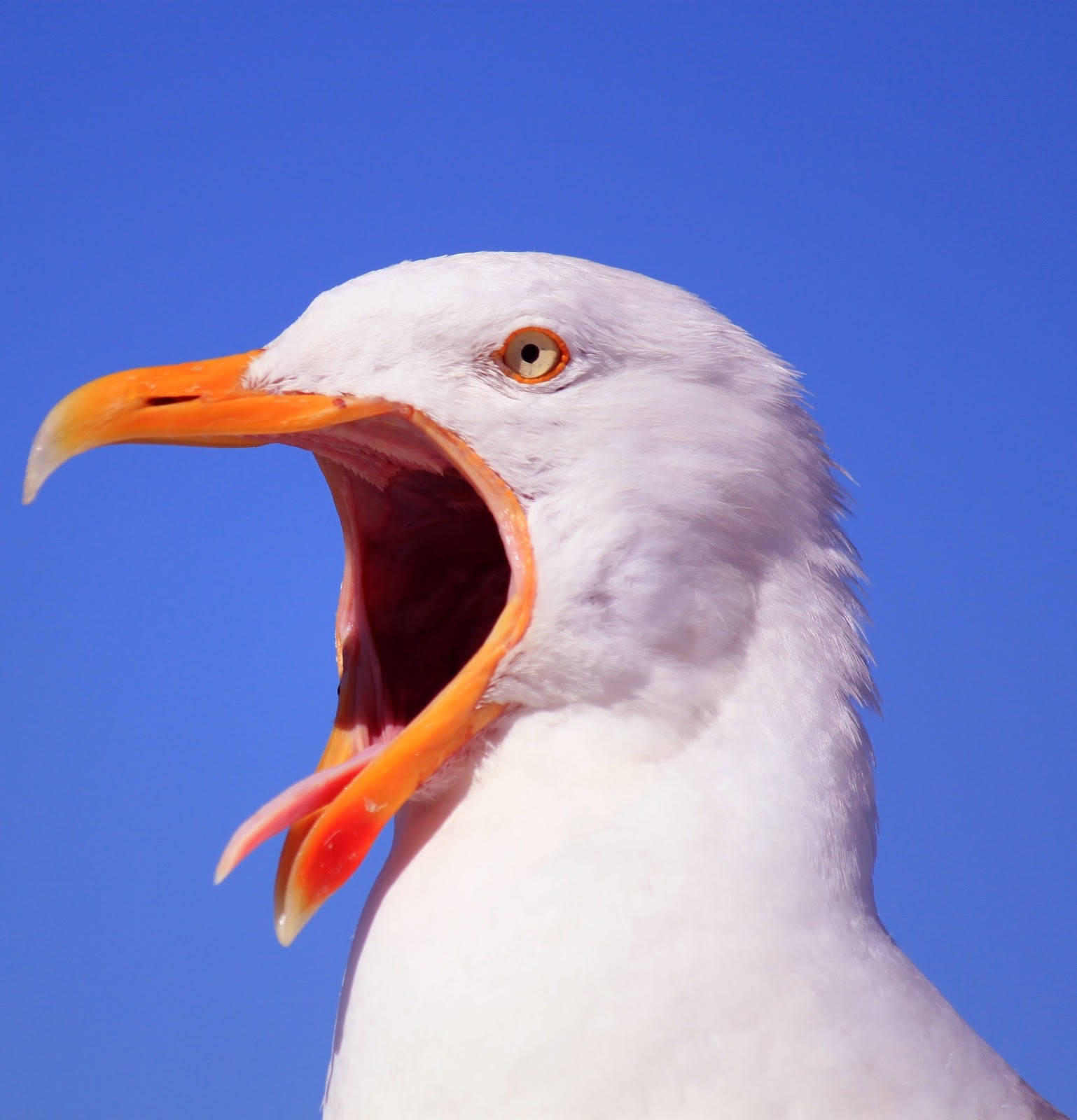 Picture of a seagull with it's tongue out.