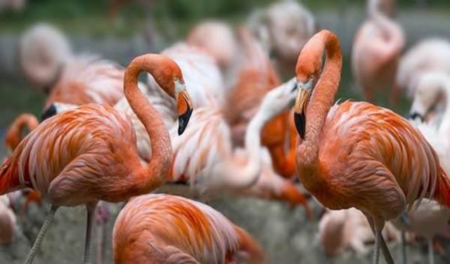 flamingos tendência