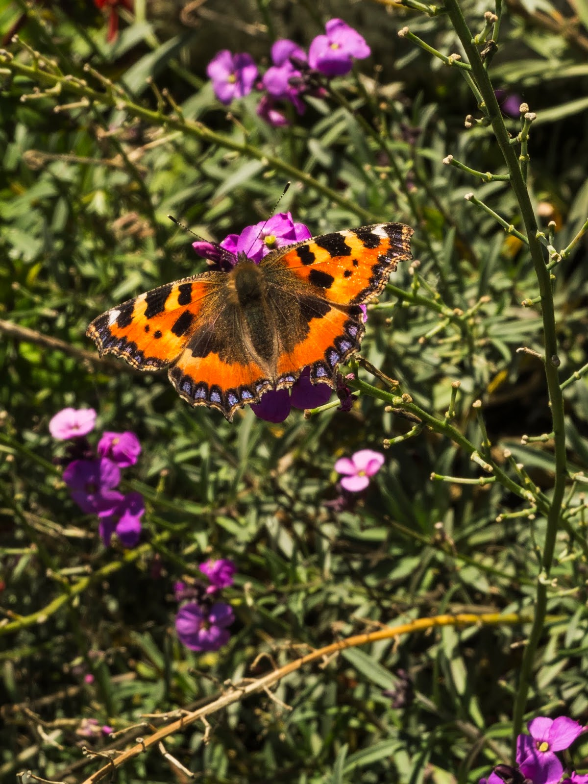A butterfly sitting on a a purple wall flower in the sunlight.