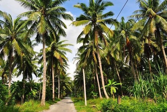 Bán dừa sáp cầu kè giá rẻ quận 10