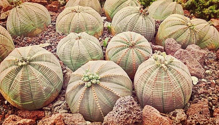 Euphorbia para jardin
