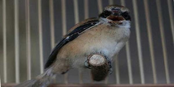 burung cendet mabung