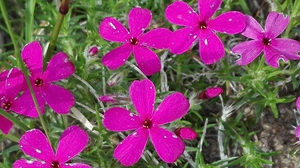 sammalleimu punaiset kukat maanpeitekasvi