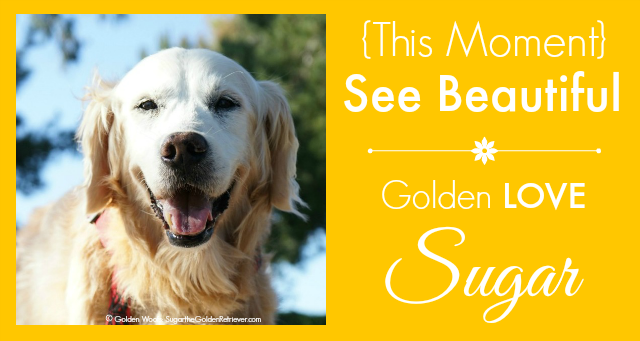 This Moment See Beautiful tribute to Sugar Golden Woofs
